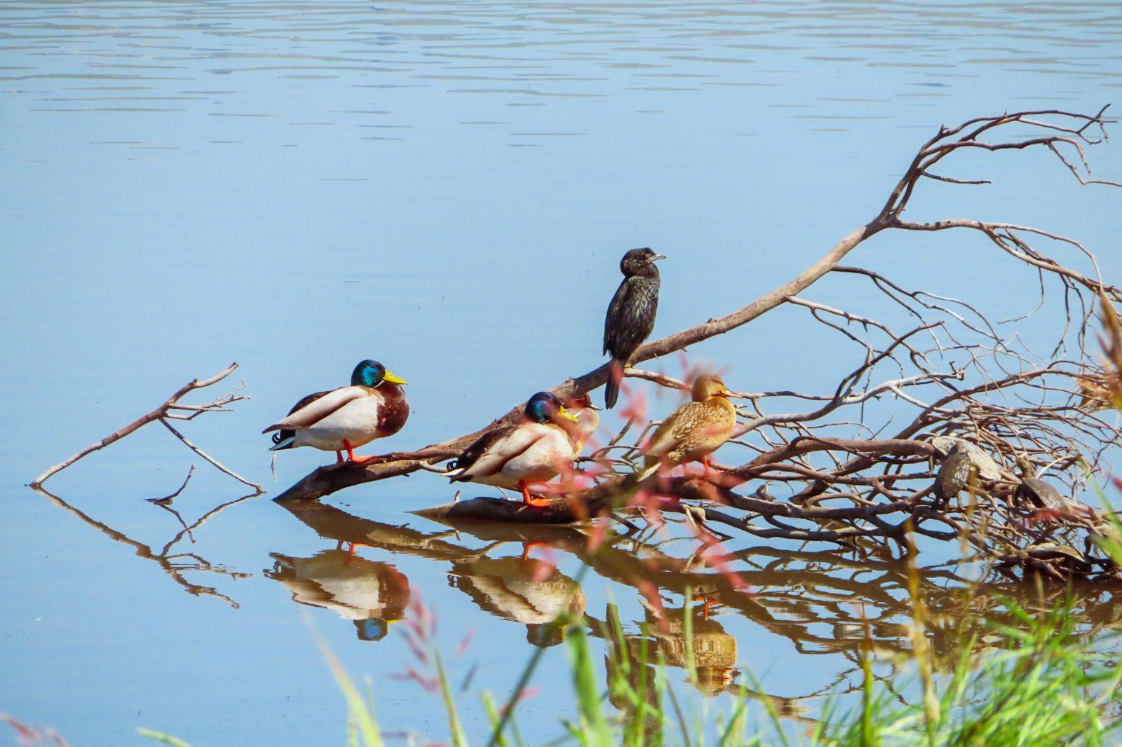 ציפורים וברווזים