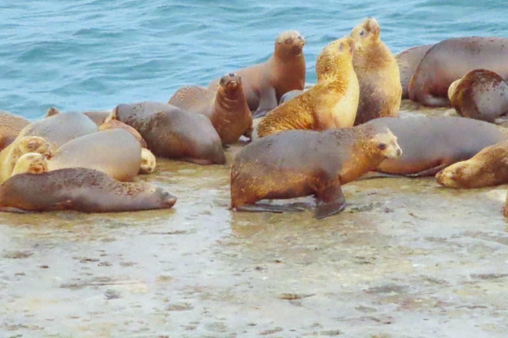 אריות ים