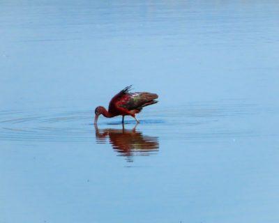 עופות במים