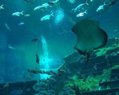 דגי Sting Ray באקווריום